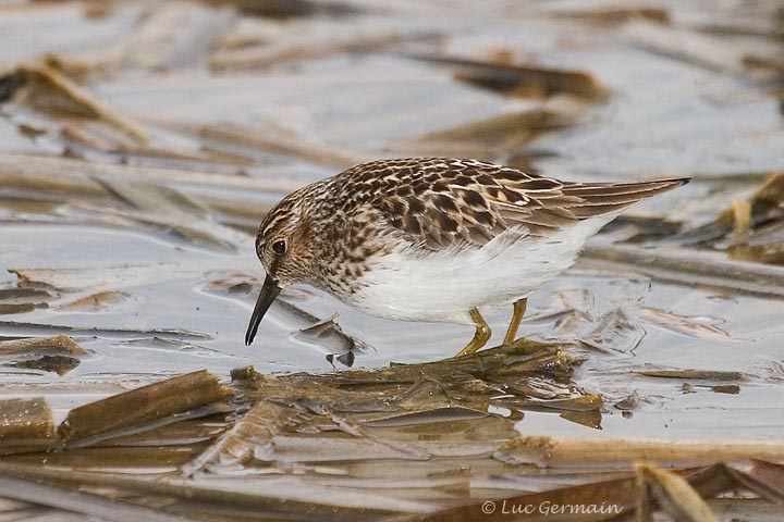 Photo - Least Sandpiper