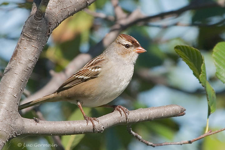 Photo - White-crowned Sparrow