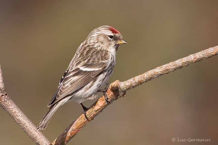 Photo - Common Redpoll