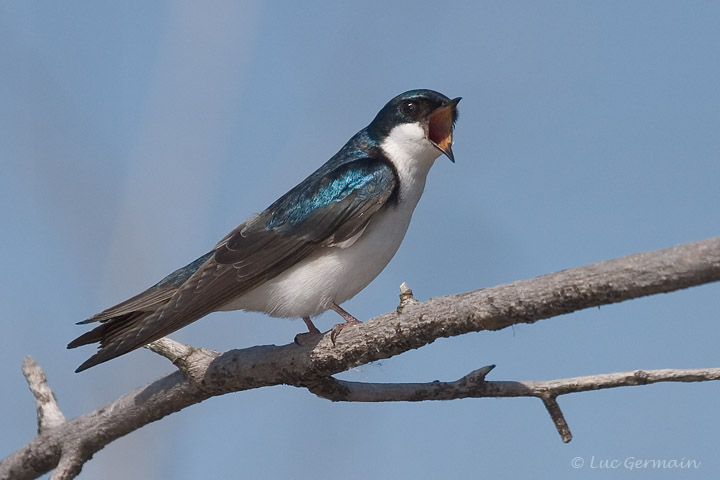 Photo - Tree Swallow