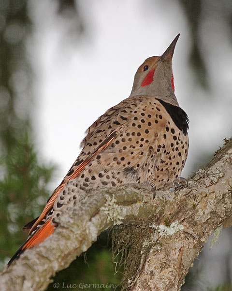 Photo - Northern Flicker