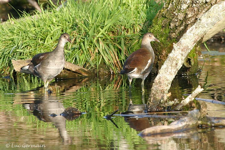 Photo - Gallinule d'Amérique